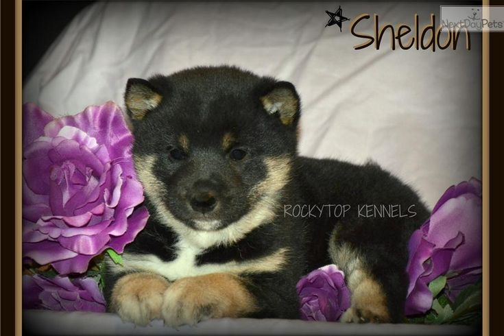 Meet Sheldon a cute Shiba Inu puppy for sale for $1,250. ~Stunning Baby Sheldon!!!~ What A Gorgeous Boy!!!!