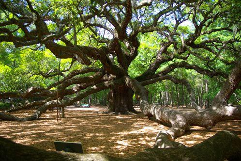 Angel Oak in Charleston, SC...amazing work of God