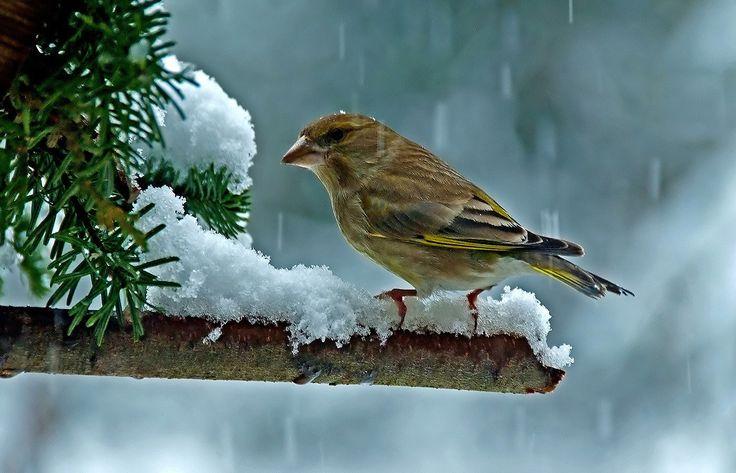 Da müssen wir Wildvögel durch, ...  sagte der Grünfink im Garten. Aber im Winterschlussverkauf schaue ich mich mal nach warmen Stiefelchen um. Und einer Mütze. :-)