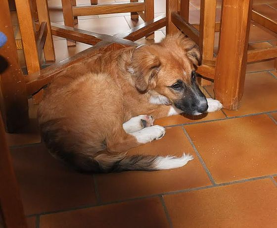 Virgule, X Border Collie (Octobre 2015), à adopter dans le Var