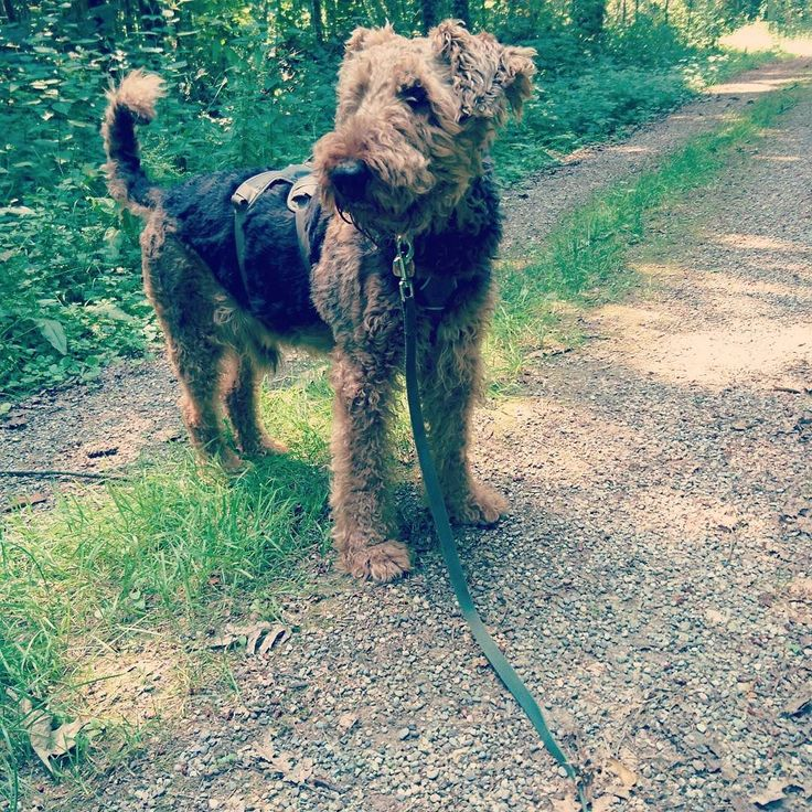 Hello friends. I am streaming our walk live on periscope. Follow link in my bio to watch us.  Greetings Berti.  #livestream #doglive #dogwalk