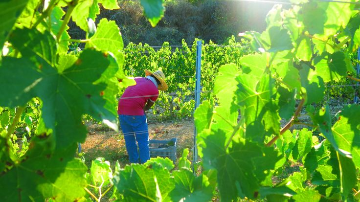 Harvesting #Shiraz grapes at our Organic Vineyards in Pano Arodes village.