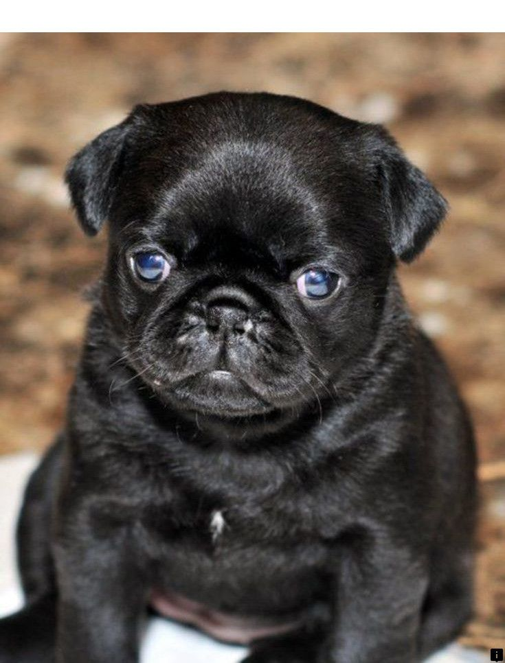 Read Information On Black Pug Puppies For Sale Follow The Link