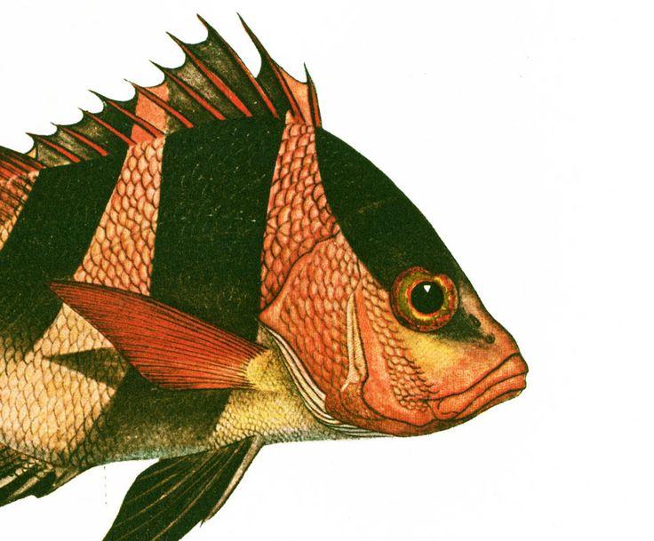 1932 Poisson Empereur rouge. Vivaneau Bourgeois. Gravure Originale. Poisson Tropical. Ichtyologie Asie Pacifique Ocean Indien. de la boutique sofrenchvintage sur Etsy