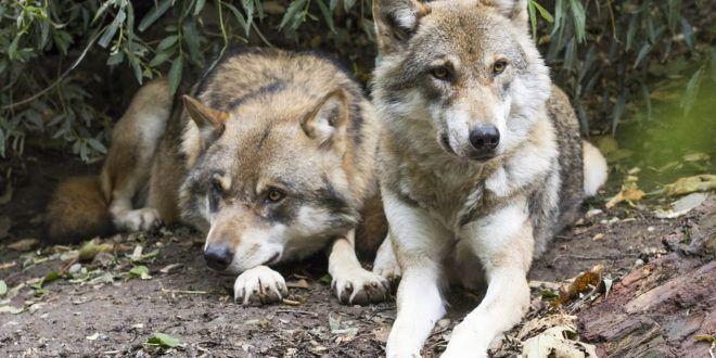 Imperia: il caso dei due lupi uccisi e seppelliti per far sparire ogni traccia