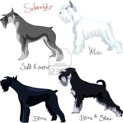 Schnauzer dog colors