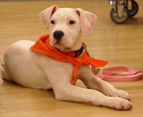 bullysmiles:  Pit Bull Puppy by http://ift.tt/U7DG6L on...#pitbulls #dog breeds #canine pet #dogs #pitbull puppy #pitbull dog #pitbull breeds #red nose pitbull #pitbull terrier #apbt #staffordshire terrier #amstaff #english terrier #black pitbull #moo moo pit #chocolate pitbull #pitbull poodle #blue nosed pit #pitbull mutt #mans best friend #4 month old pitbull