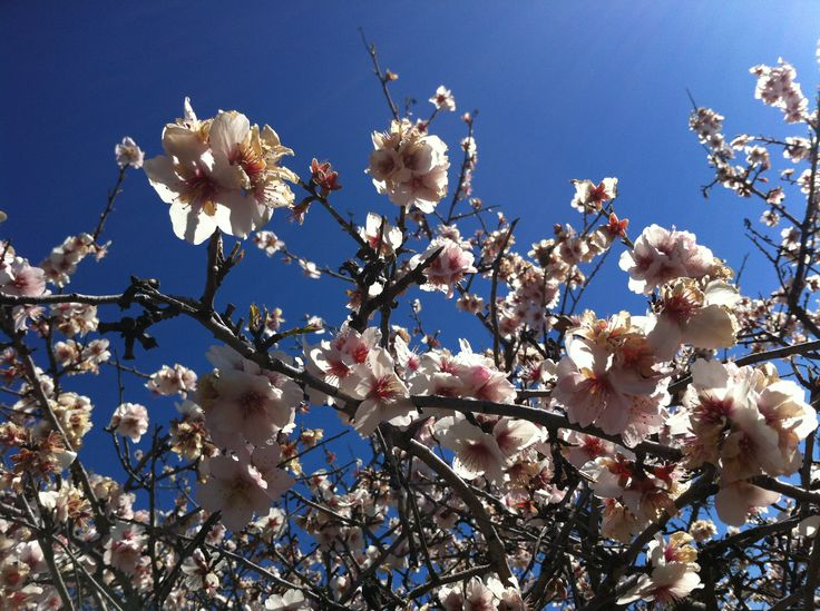 Almond blossom in January. Pure bliss.