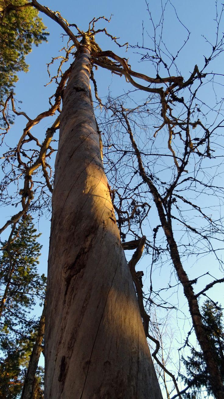 Dead tree.