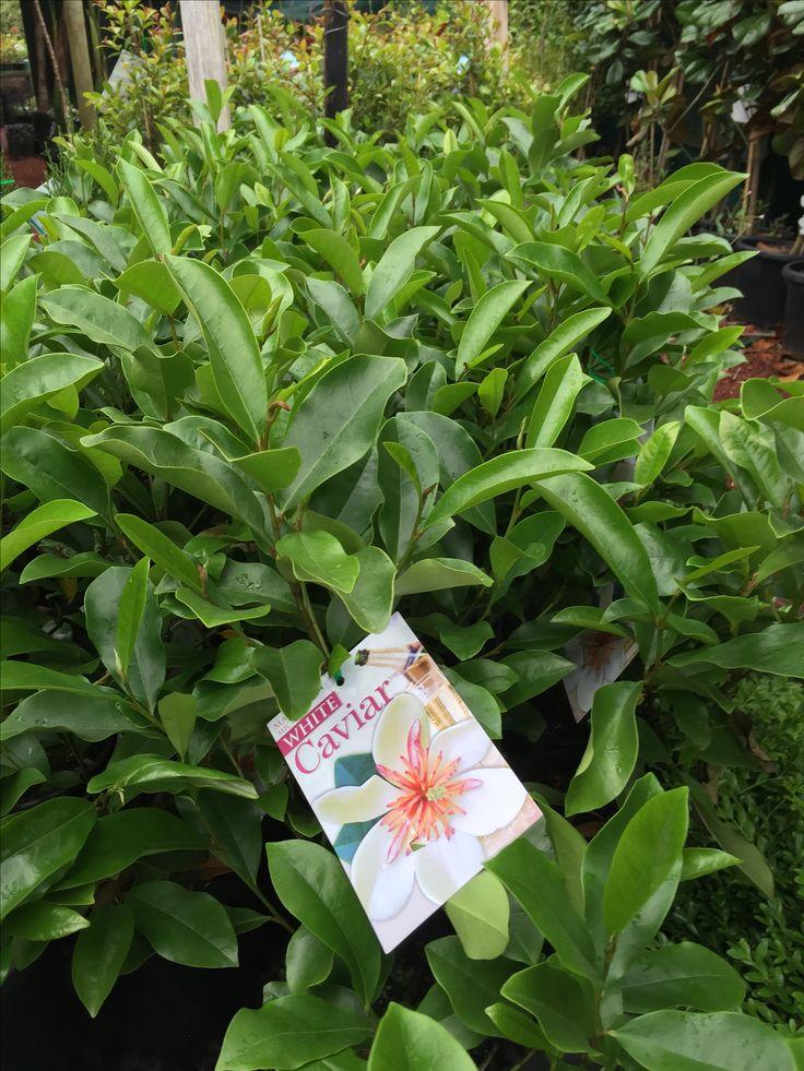 Magnolia Yunnanensis White Caviar Garden Plants