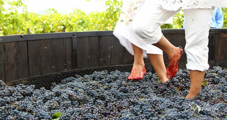 ¡Vamos a pisar uvas este 13, 14 y 15 de julio en la vendimia de Querétaro! - Soy VinicolaSoy Vinicola