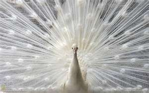 White Peacock - Amazing: Inspiration, National Geographic, Colors, Whitepeacock, Natural, Photo, Animal, Albino Peacock, White Peacock