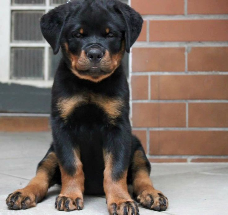 An Adorable Rottweiler Meets A Baby For The First Time In 2020