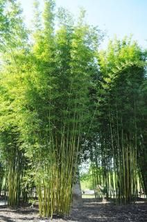 GRACEFUL BAMBOO 15G - BAMBUSA TEXTILIS GRACILIS | Bamboo for Sale
