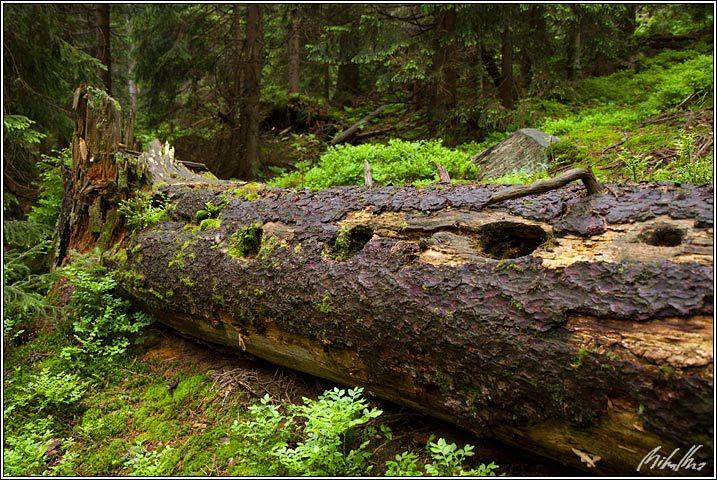 Jesenický les - padlý horský smrk