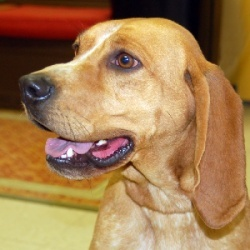 Scarlet is an adoptable English Coonhound Dog in Aurora, IN. Scarlet was found as a stray and taken to a rural country shelter. She is a Redtick or English Coonhound. We think she is between 2