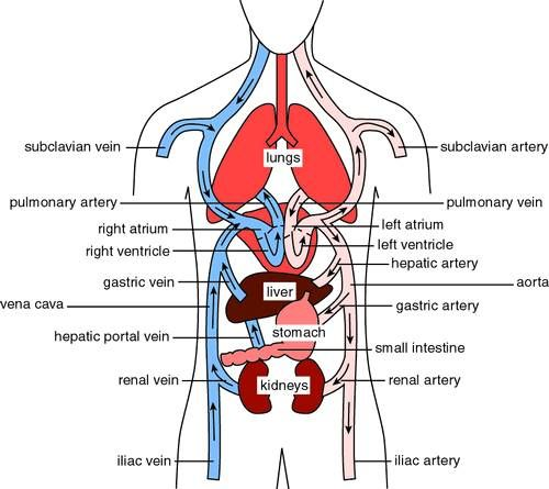Circulatory System BODY SYSTEMS Pinterest