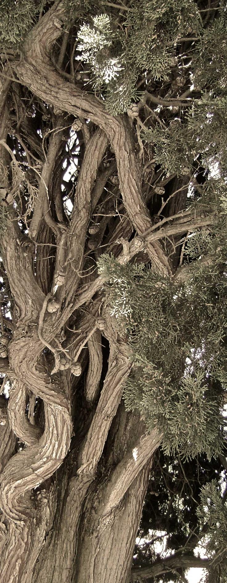 a very old and beautiful tuscan cypress tree  un bellissimo cipresso secolare simbolo di queste terre