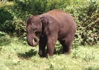 Baby Elephant. Indian flora and fauna.