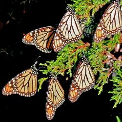 Image result for north american monarch butterfly
