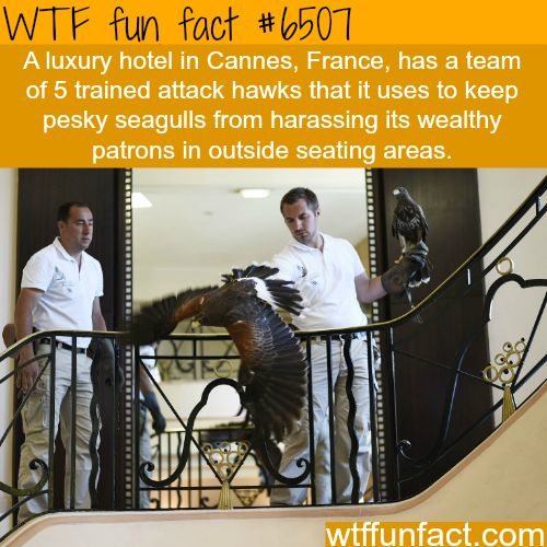 Luxury hotel in Cannes, France has hawks protecting it from seagulls - WTF fun facts
