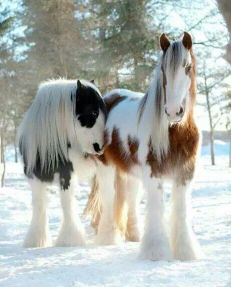 Beautiful beyond words - Vanner Horses