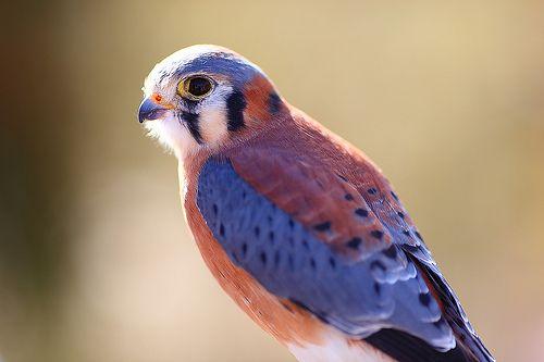 American Kestrel Falcon!