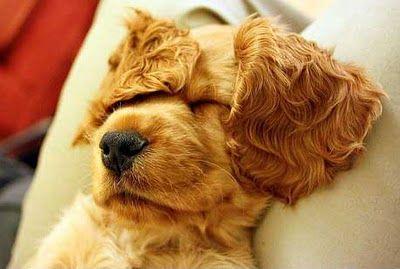 nice nap: Doggie, Cocker Spaniel Puppies, Dogs, Adorable Animals, Cocker Spaniels ️, Pets, Puppy, Baby Animals, Friend