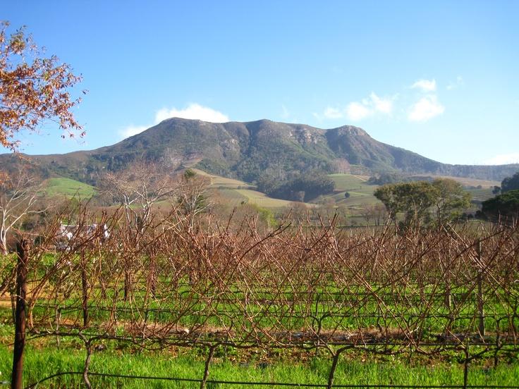 Constantia South Africa Vinyard