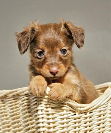 Puppy Russian Toy Terrier / Russkiy Toy / Русский той #Puppy #Dog