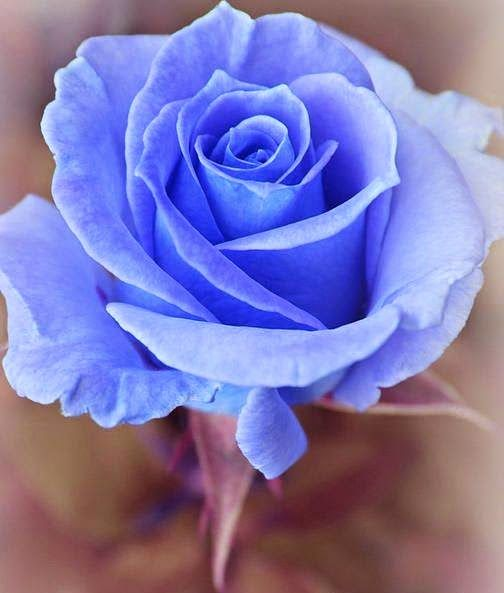 Rosa Azul Terciopelo