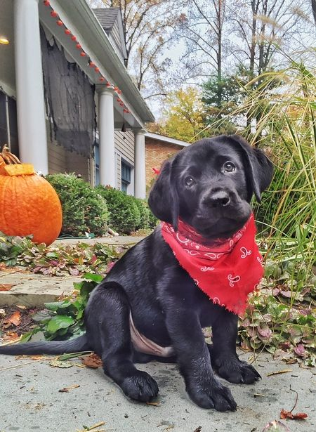 Vote for Bodie in the Lucky Lab Rescue & Adoption 2016 Calendar Photo Contest.