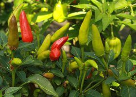 17 best ideas about chilli plant on pinterest pepper - Best romanian pepper cultivars ...