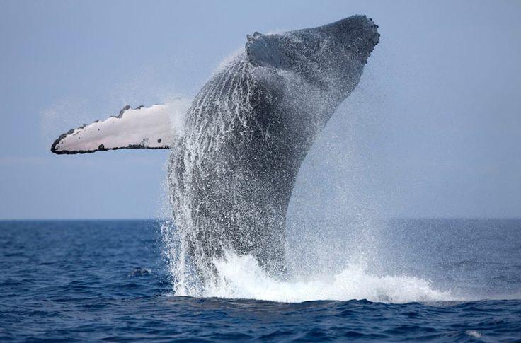 Наблюдение за китами, одно из ярких зрелищ в Шри Ланке. Здесь, в теплом Индийском океане можно встретить синих, горбатых китов, кашалотов, финвалов, иногда косаток и несколько видов дельфинов. #Мирисса, #Шри Ланка, #путешествие