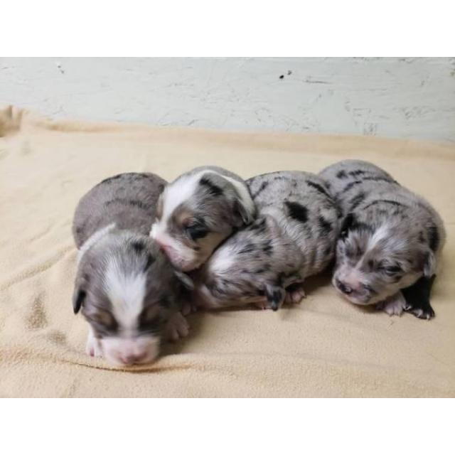 Australian Shepherd Puppies For Adoption Australian Shepherd