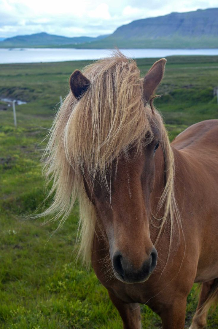 Horses are a beautiful sight when driving around Iceland | heneedsfood.com