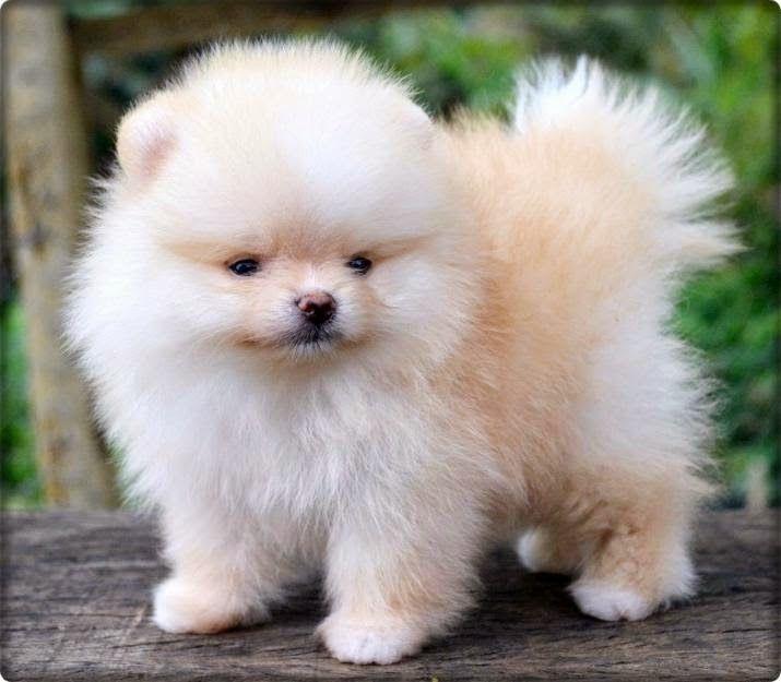 Lulu da Pomerânia: cãozinho virou xodó e é o mais caro do Brasil