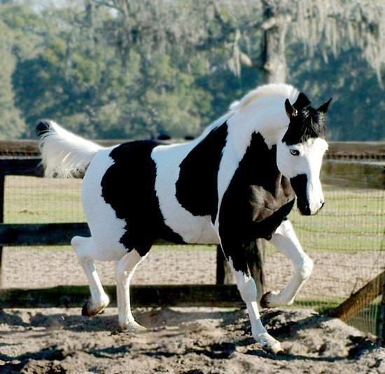 paint quarter horses   Paint Horse.