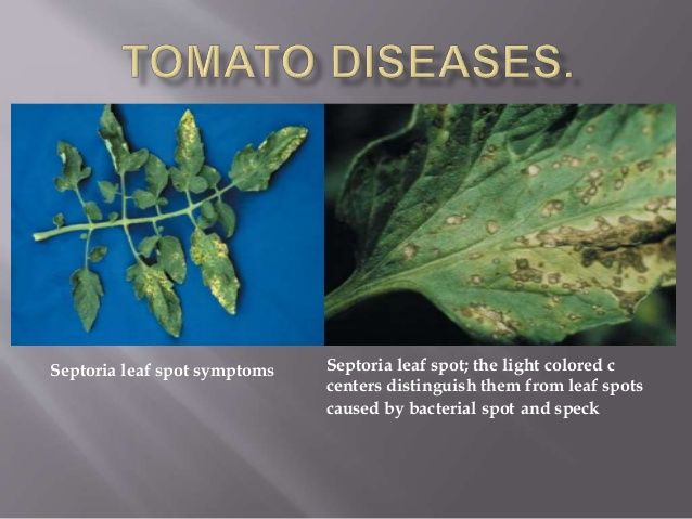 Septoria leaf spot symptoms Septoria leaf spot; the light colored c centers distinguish them from leaf spots caused by bac...