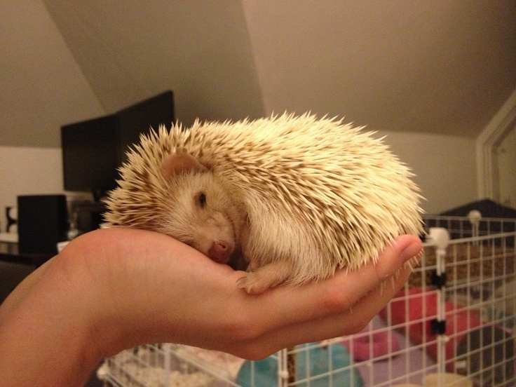 38 best Hedgehogs images on Pinterest | Pygmy hedgehog, African ...