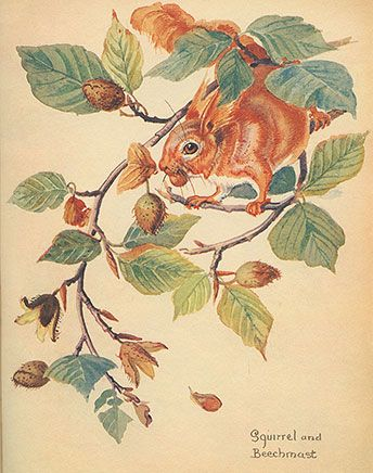 Red Squirrel with beechnuts by Botanical Artist Edith Holden c. 1905