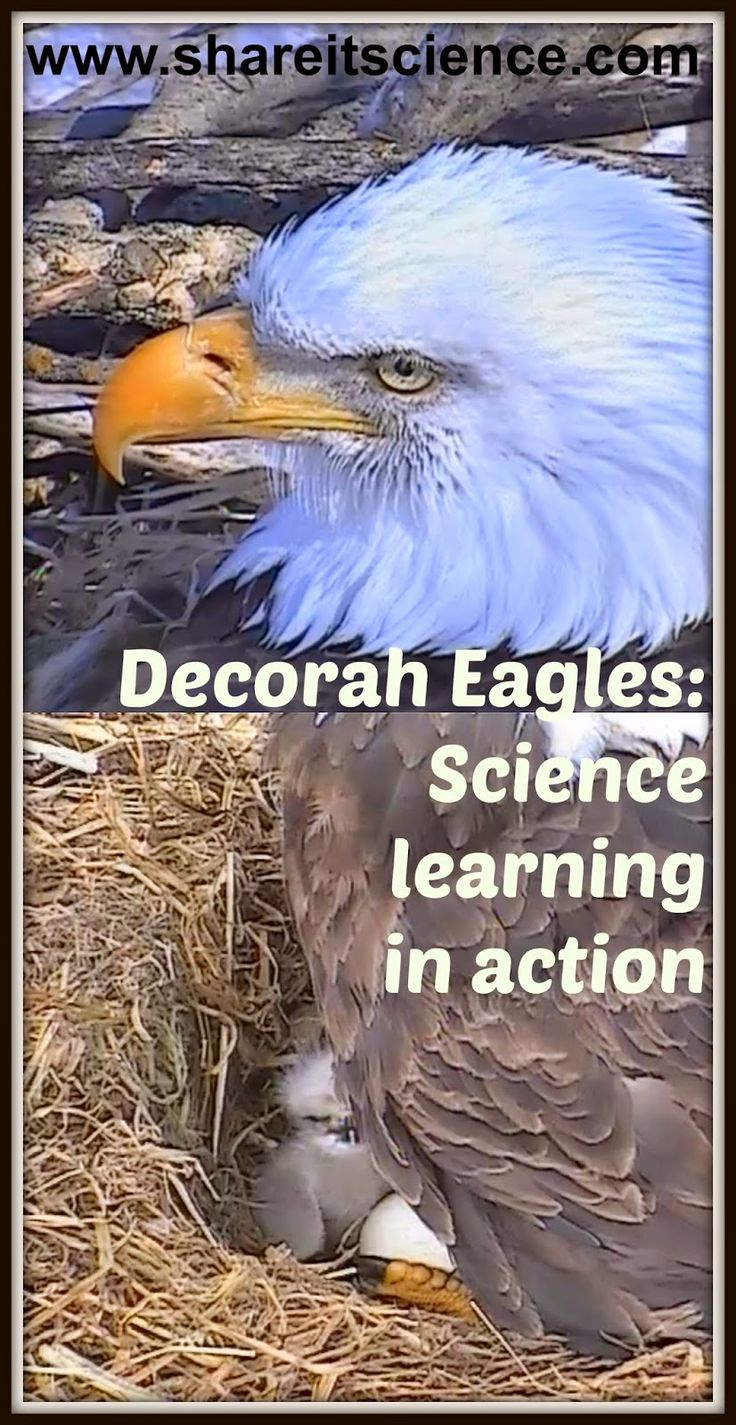 Share it! Science News : Decorah Eagles of the Raptor Resource Project Continue to Teach and Entertain. Ideas and links for using this live eagle cam in the classroom or at home. Watch the eagle chicks hatch and grow!