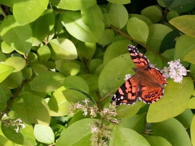 Mariposa de la tarde