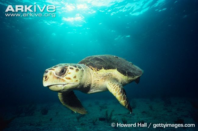 Learn more about the Loggerhead turtle - with amazing Loggerhead turtle videos, photos and facts on ARKive