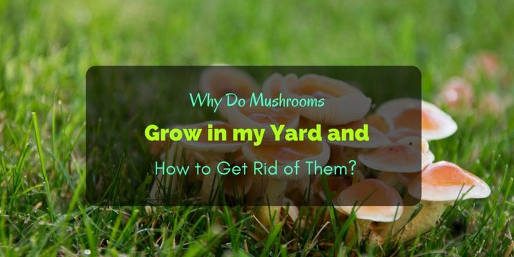 Why Do Mushrooms Grow in my Yard and How to Get Rid of ...