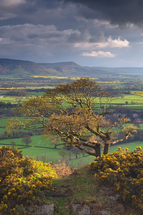 A lone Oak Tree catches the last of the evening light amidst stunning spring colours and the distant Cleveland Hills. North Yorkshire,UK