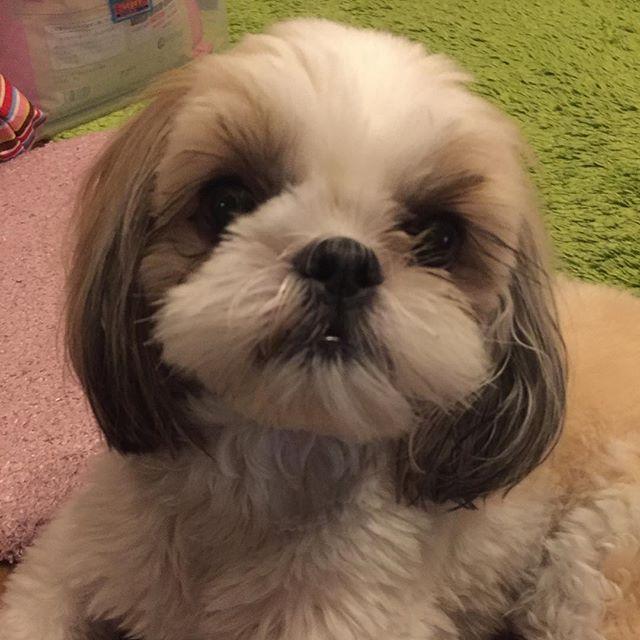 yuukorin1777 : ロイさん、1歳6ヶ月です #シーズー #ロイさん1歳6ヶ月記念日