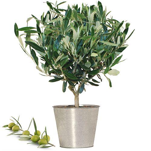 1000 id es sur le th me arbres en pots sur pinterest for Recherche sur les plantes vertes