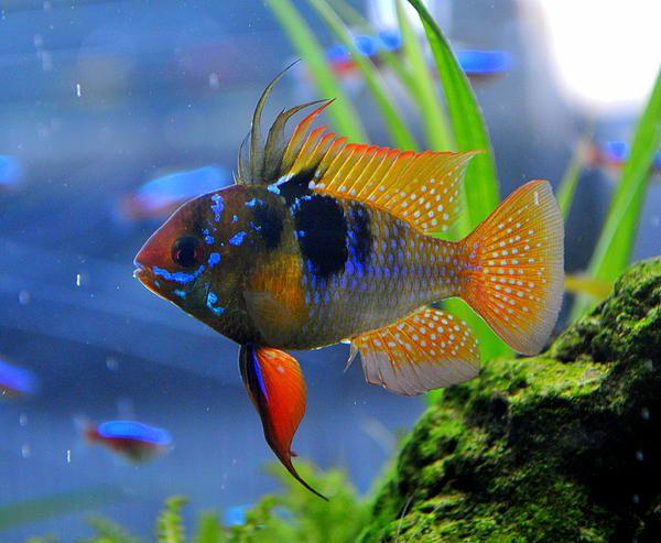31 best images about ramirezi on pinterest auction for German ram fish