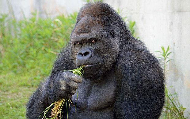 Japanese women go ape over 'handsome' gorilla named Shabani - Telegraph